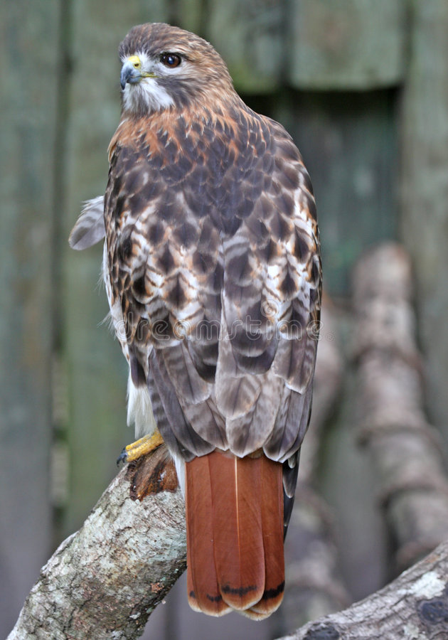 piękny hawk czerwonym ogon obrazy royalty free