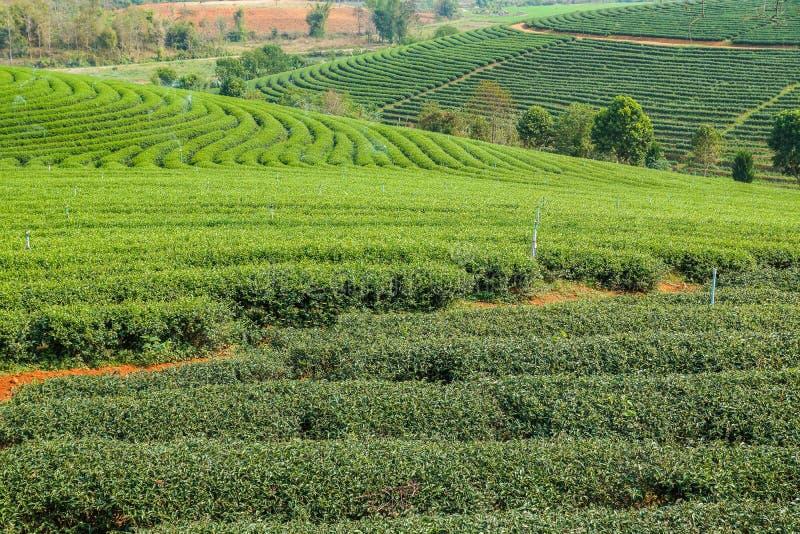 Piękny herbaty gospodarstwo rolne z zielonym środowiskiem fotografia royalty free