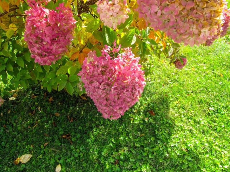 Piękny hortensja krzak zdjęcie royalty free