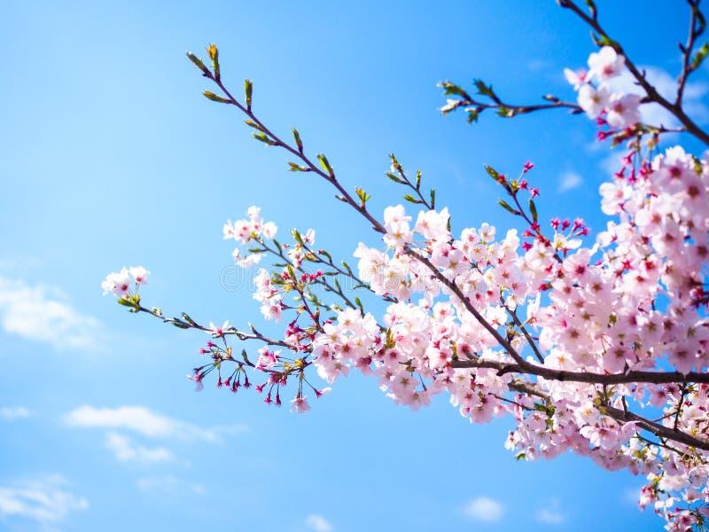 Piękny i colorfull Czereśniowy okwitnięcie, Sakura zdjęcie royalty free