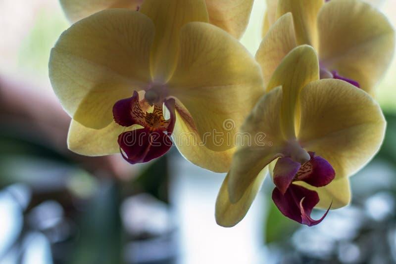 Piękny i delikatny Storczykowy kwiat, delikatny i uroczy zdjęcia royalty free