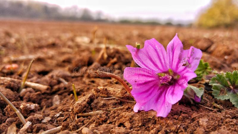 Piękny i kolorowy hollyhock zdjęcie stock