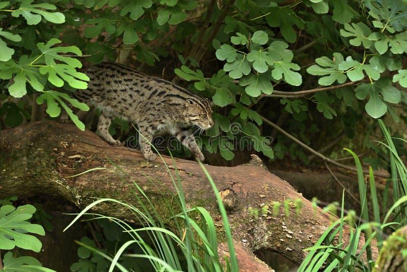 Piękny i nieuchwytny połowu kot w natury siedlisku blisko nawadnia fotografia stock