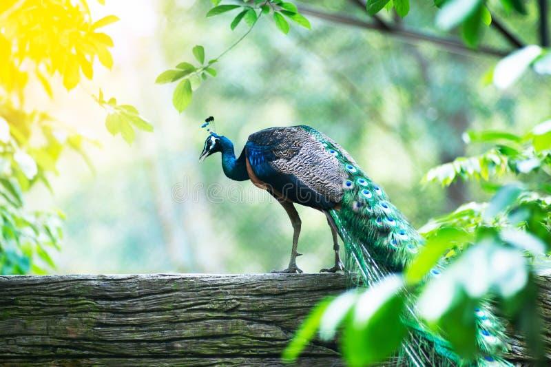 Piękny Indiański peafowl - Pavo cristatus fotografia royalty free
