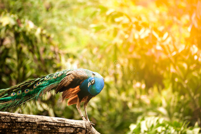 Piękny Indiański peafowl - Pavo cristatus zdjęcie stock