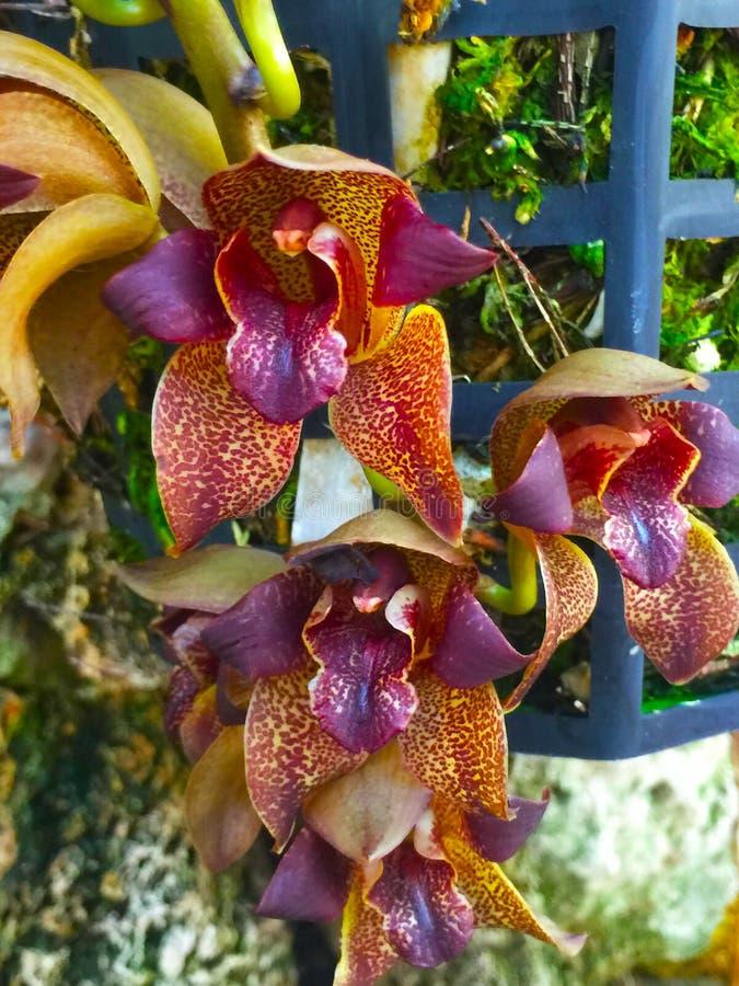 Piękny intensywny storczykowy kwiat fotografia stock
