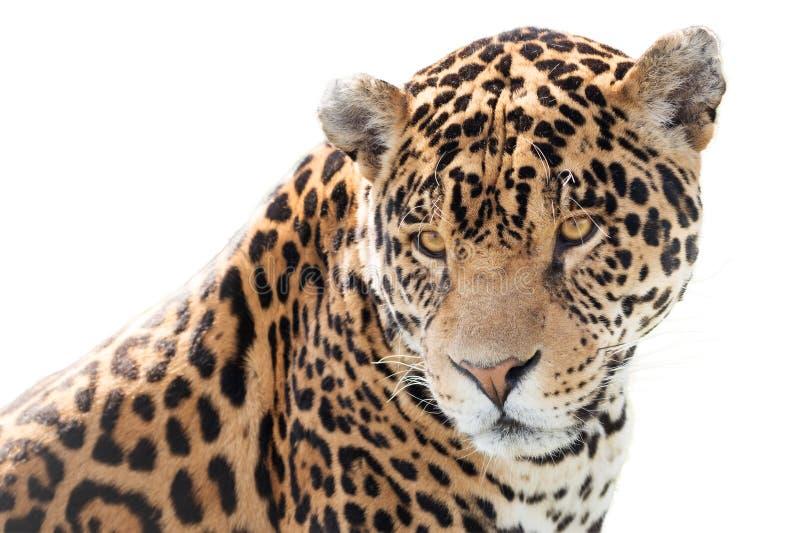 Piękny jaguar obrazy royalty free