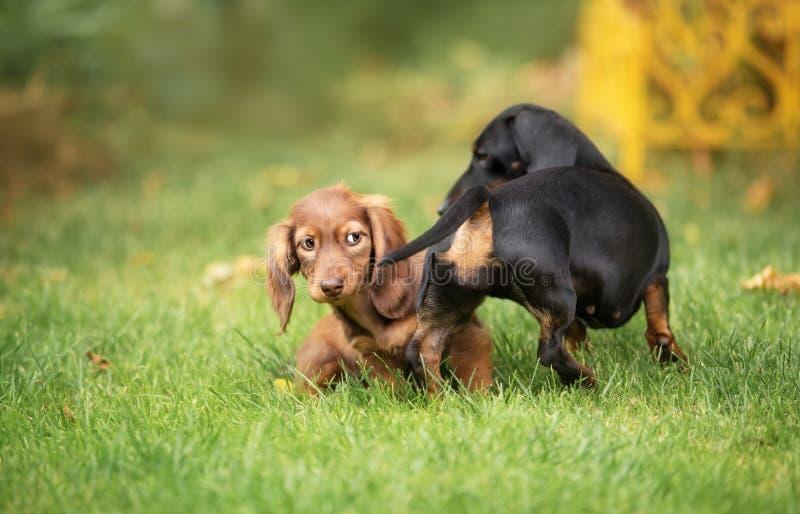 Piękny jamnika szczeniaka pies z smutnym oko portretem obrazy stock