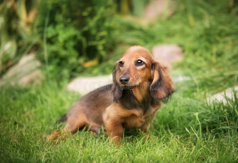 Piękny jamnika szczeniaka pies z smutnym oko portretem zdjęcie royalty free