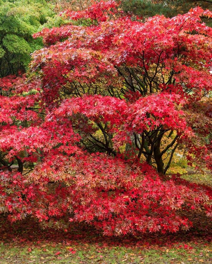 Piękny Japońskiego klonu acer drzewo w pełnym jesień kolorze obrazy royalty free