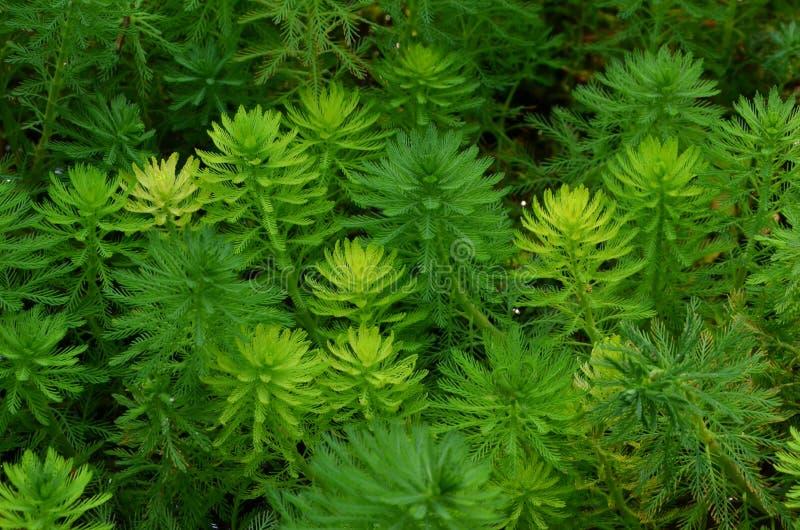 Piękny jaskrawy i świeży - zielonego hydrilla odgórny widok zdjęcie royalty free
