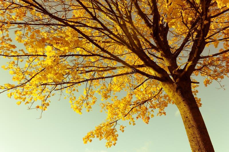 Piękny, jaskrawy i klonowy drzewo z pomarańcze, opuszcza w jesieni fotografia royalty free