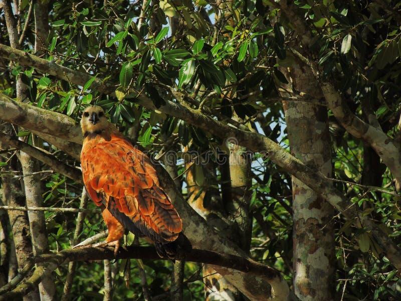 Piękny jastrząb od brazylijczyka Pantanal obrazy royalty free