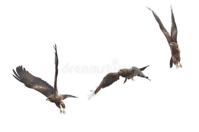 Piękny jastrząbka Ptasi latanie w niebie odizolowywa dalej (Czarna kania) obraz stock