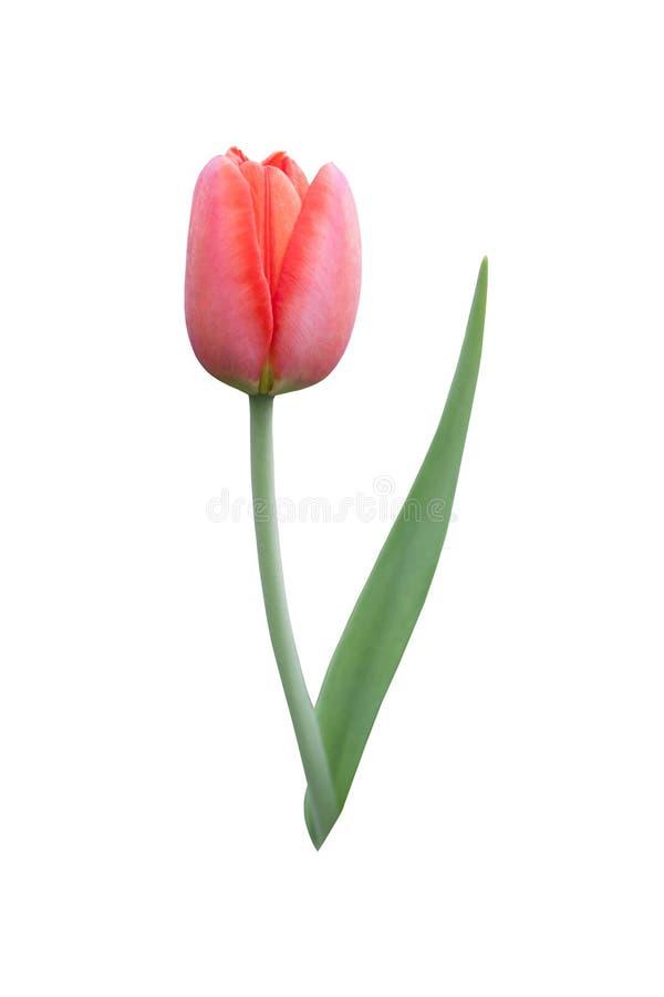 Pi?kny jeden czerwony tulipanowy kwiat na bia?ym tle obraz royalty free
