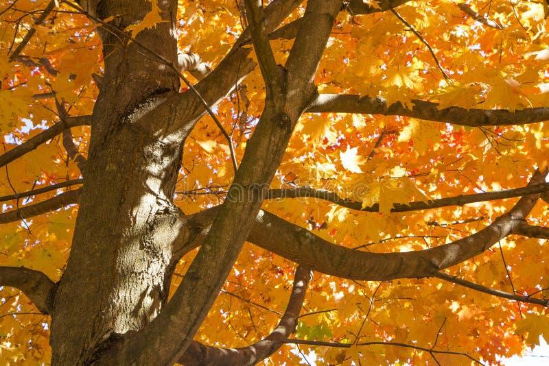 Piękny Jesień Klonu Drzewo obrazy royalty free
