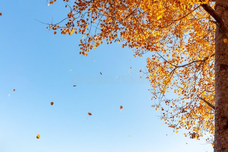 Piękny jesień krajobraz - wiatr łama yellowing ulistnienie osika zdjęcie stock
