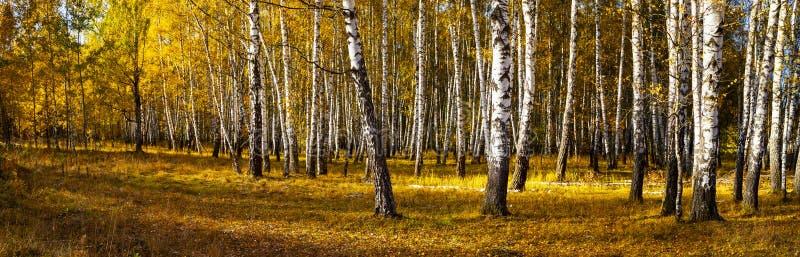 Piękny jesieni brzozy gaj zdjęcie royalty free