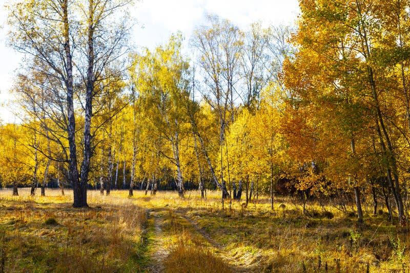 Piękny jesieni brzozy gaj fotografia stock