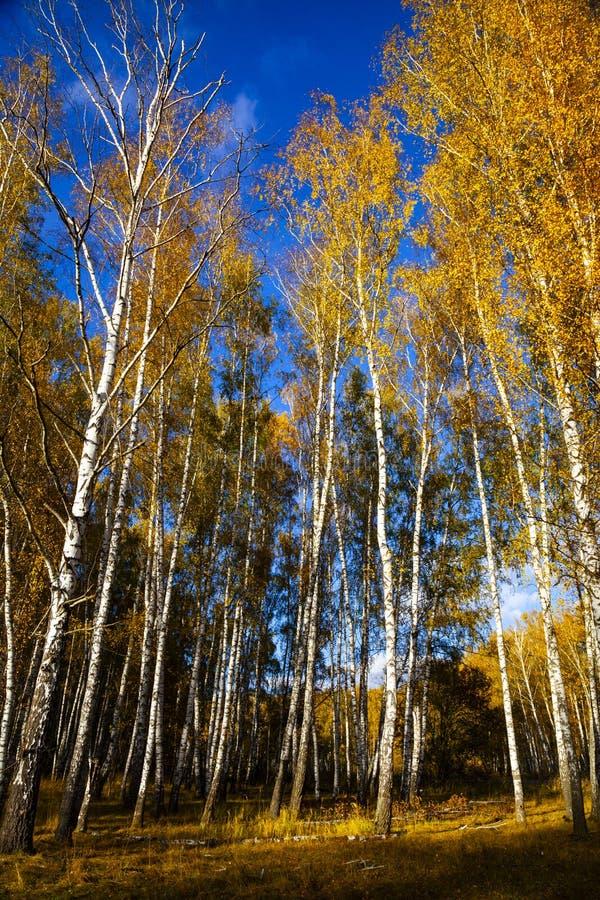 Piękny jesieni brzozy gaj zdjęcia royalty free