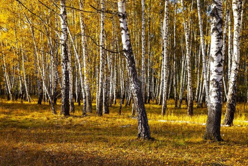 Piękny jesieni brzozy gaj obrazy stock