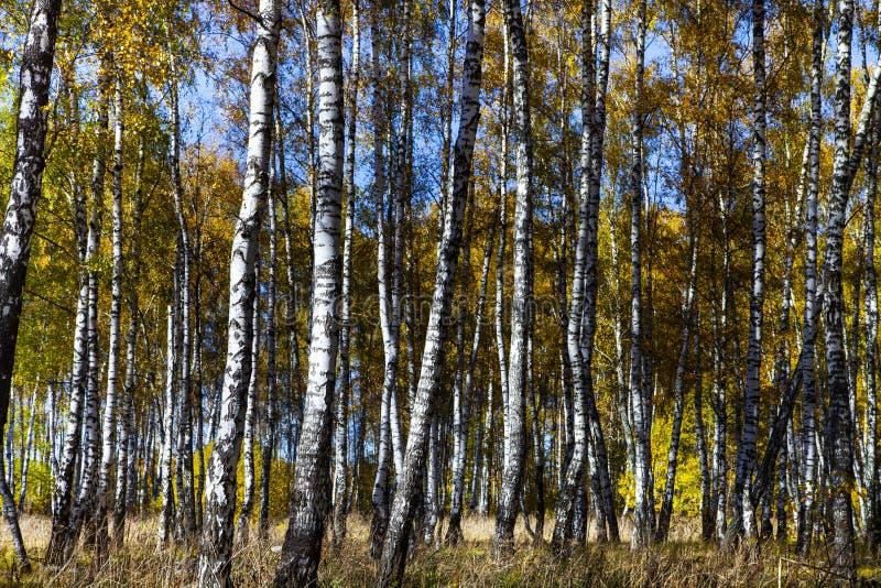 Piękny jesieni brzozy gaj zdjęcia stock