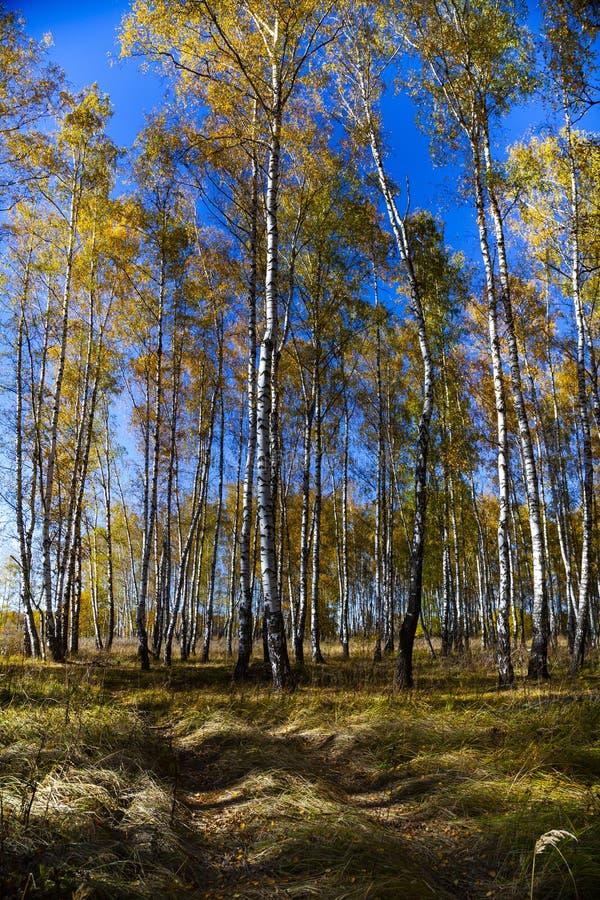 Piękny jesieni brzozy gaj fotografia royalty free
