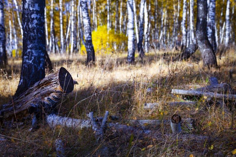 Piękny jesieni brzozy gaj obraz stock
