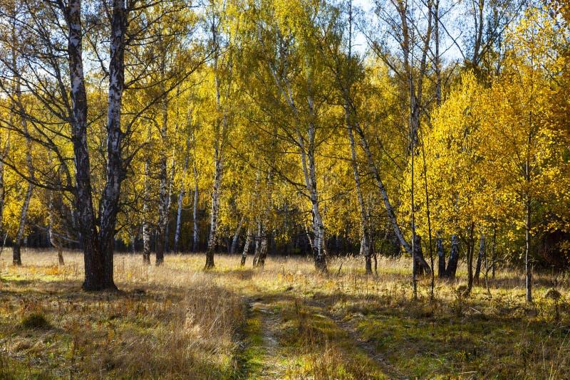 Piękny jesieni brzozy gaj obrazy royalty free