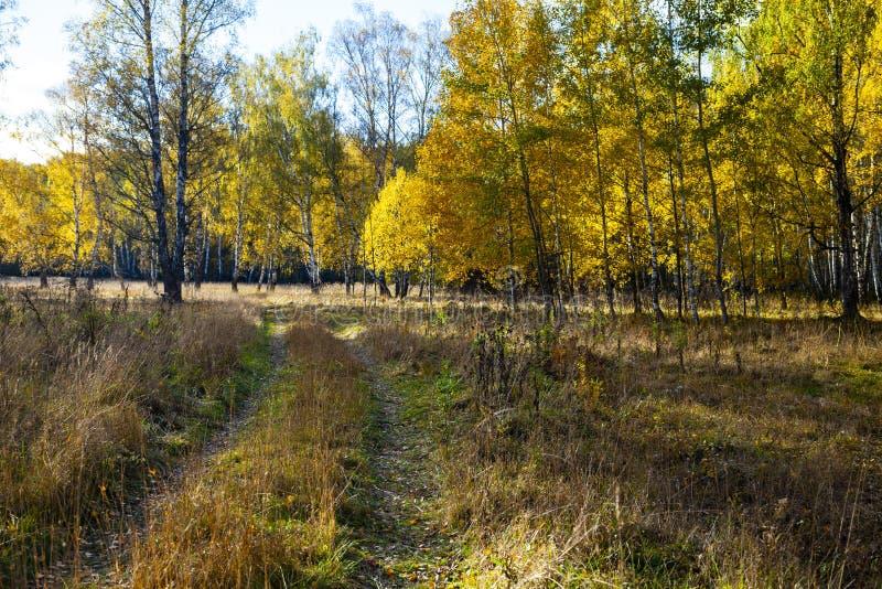 Piękny jesieni brzozy gaj obraz royalty free