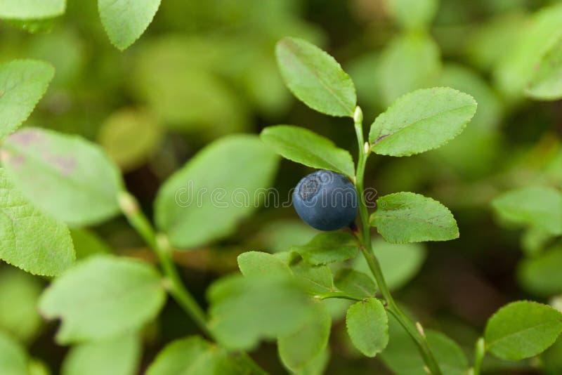 Piękny jesieni czarnej jagody krzak w lesie, świeża żywność zdjęcia stock