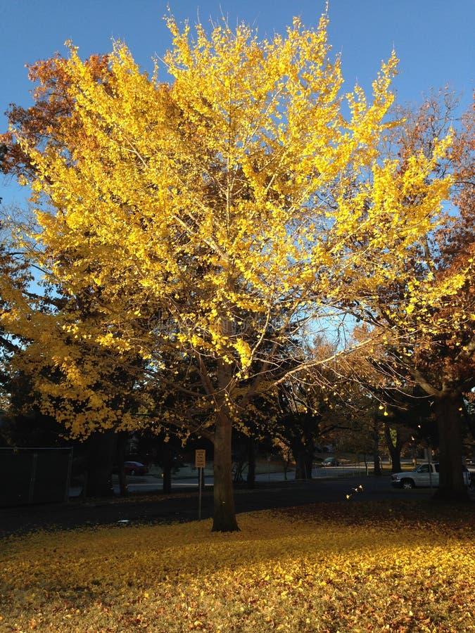 Piękny jesieni drzewo z spada liśćmi obrazy royalty free