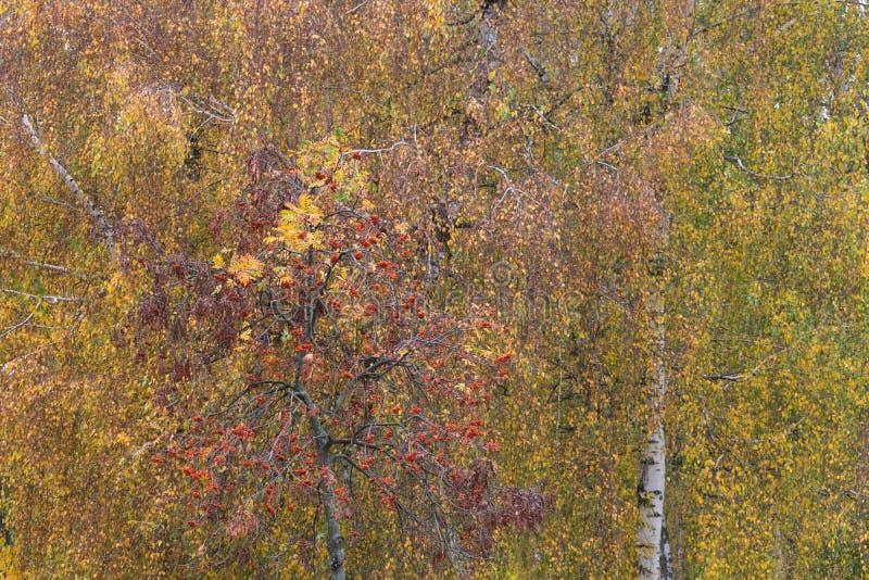 Piękny jesieni ulistnienie brzoza zdjęcia royalty free