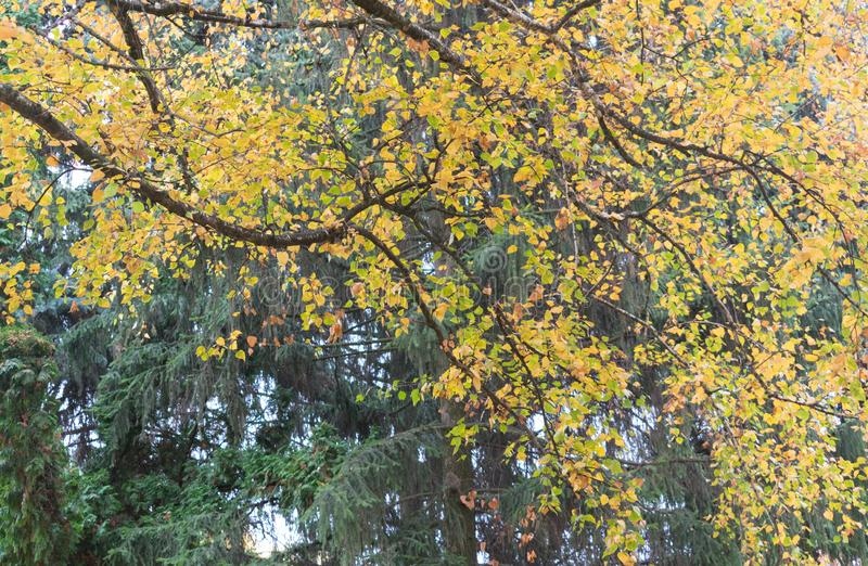 Piękny jesieni ulistnienie brzoza zdjęcie stock