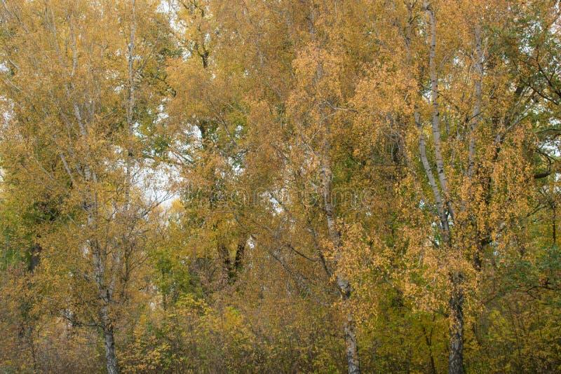 Piękny jesieni ulistnienie brzoza obrazy royalty free