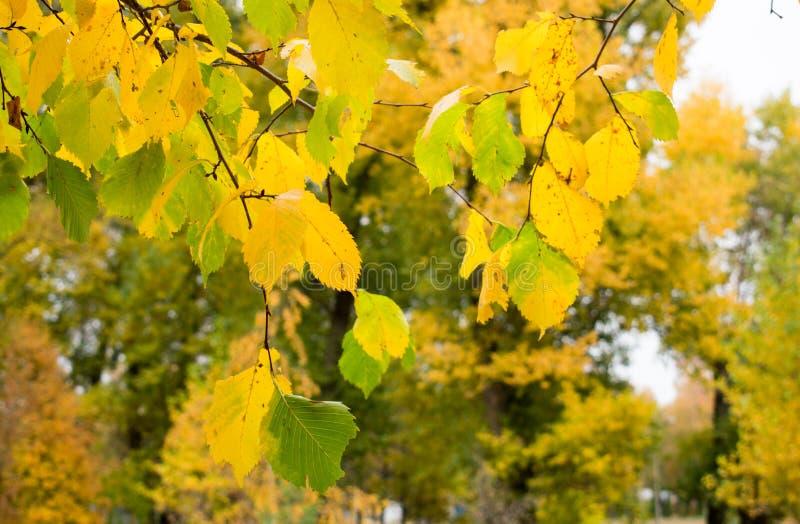 Piękny jesieni ulistnienie brzoza zdjęcia stock