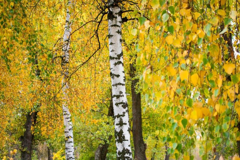 Piękny jesieni ulistnienie brzoza fotografia royalty free