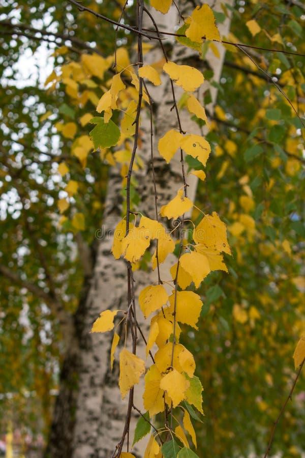 Piękny jesieni ulistnienie brzoza obraz stock