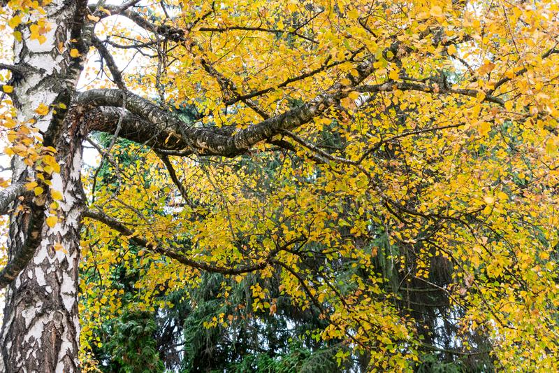 Piękny jesieni ulistnienie brzoza obraz royalty free