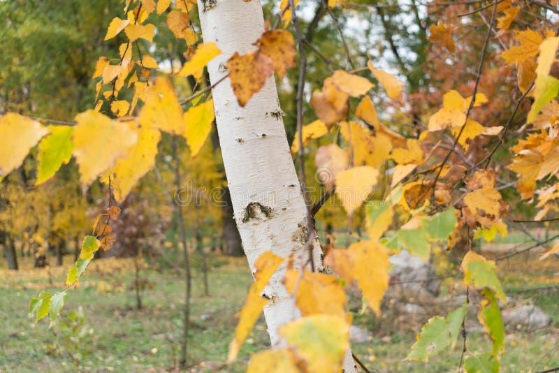 Piękny jesieni ulistnienie brzoza zdjęcie royalty free