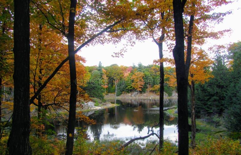 Piękny jesieni ulistnienie patrzeje przez brzoz drzew przy losem angeles obrazy stock
