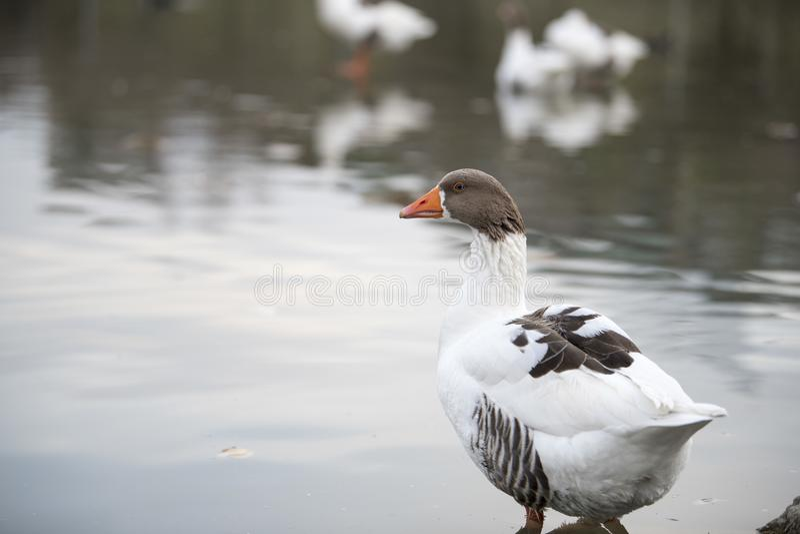 Piękny kaczka odpoczywa na jeziorze obrazy royalty free