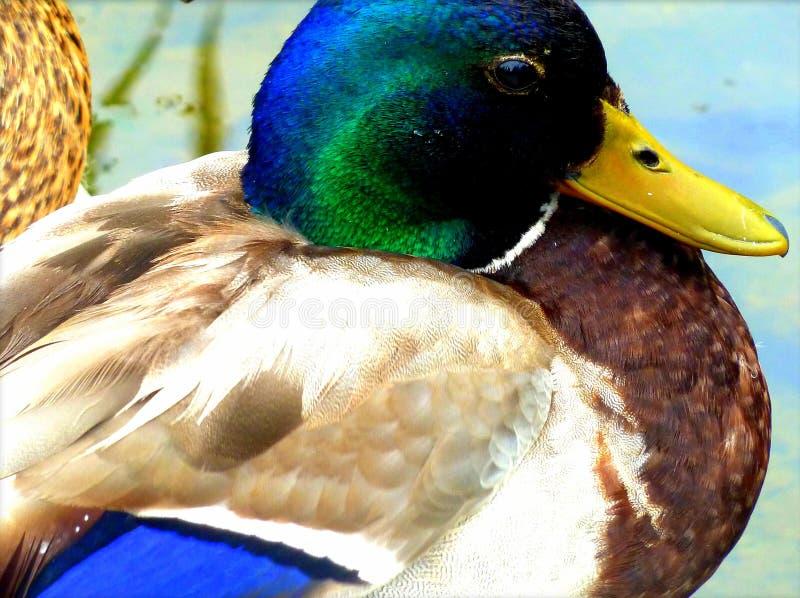 Piękny kaczki dopłynięcie w stawie zdjęcia stock