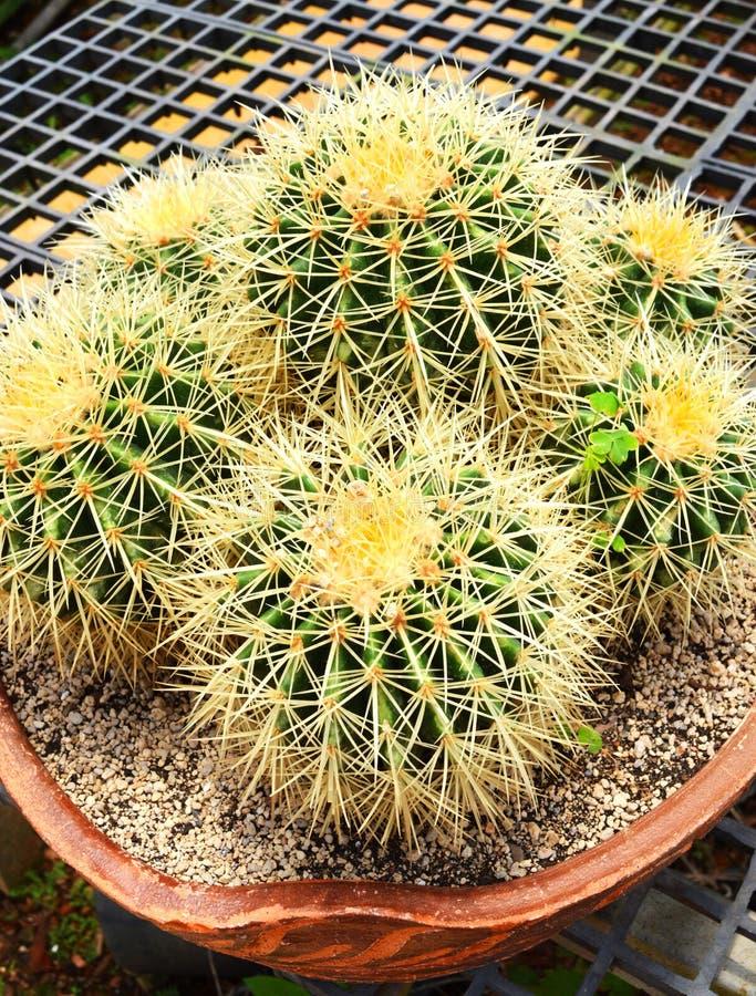 Piękny kaktus zdjęcie royalty free