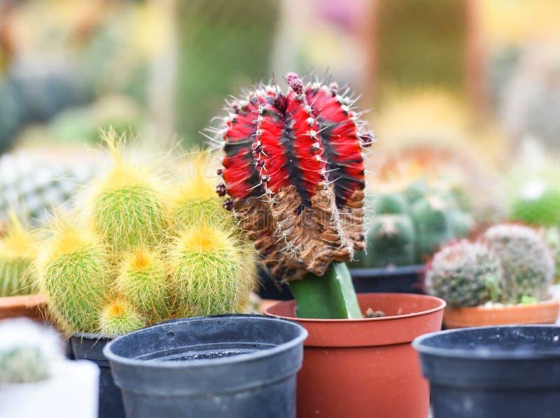Piękny kaktus zdjęcia stock