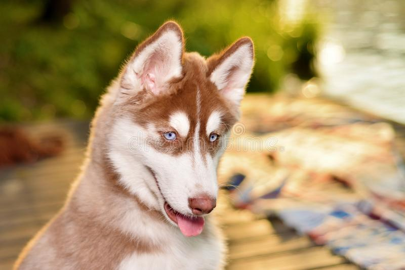 piękny kardiganu corgi psa portret Welsh obrazy stock