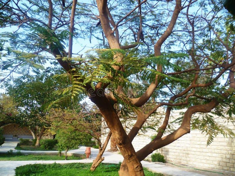 Piękny kilkuramienny drzewo zdjęcie stock