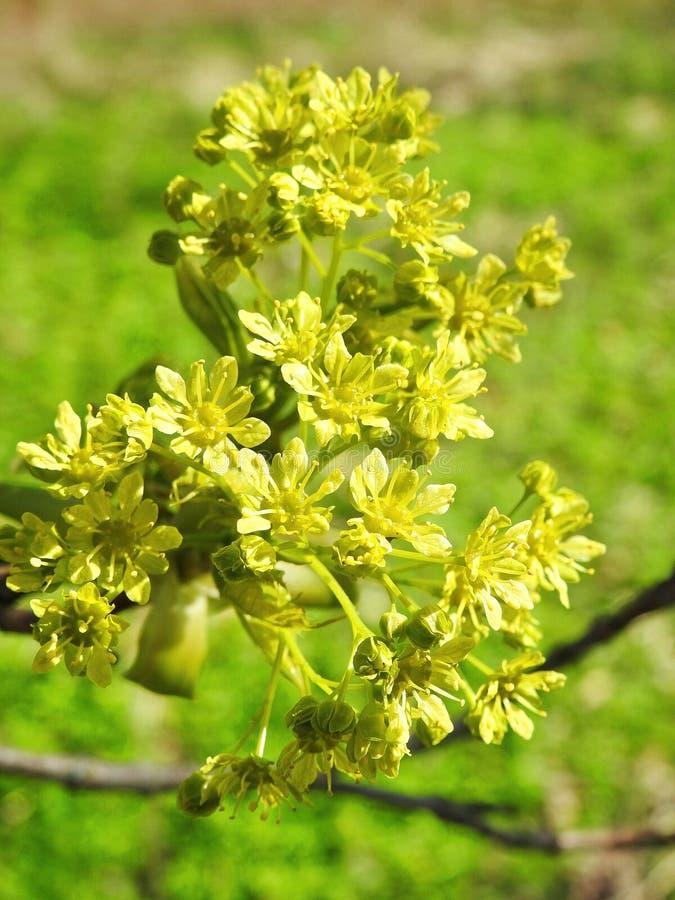 Piękny klonowego drzewa kwiat w wiośnie, Lithuania zdjęcia royalty free