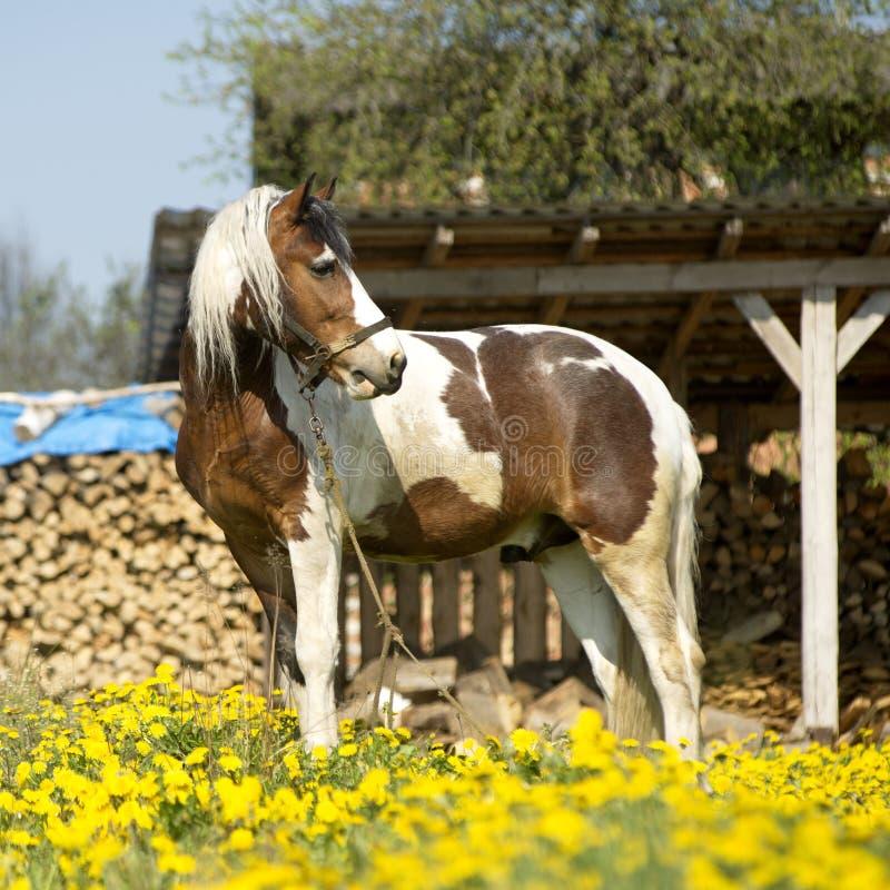 Piękny koń na łące zdjęcie royalty free