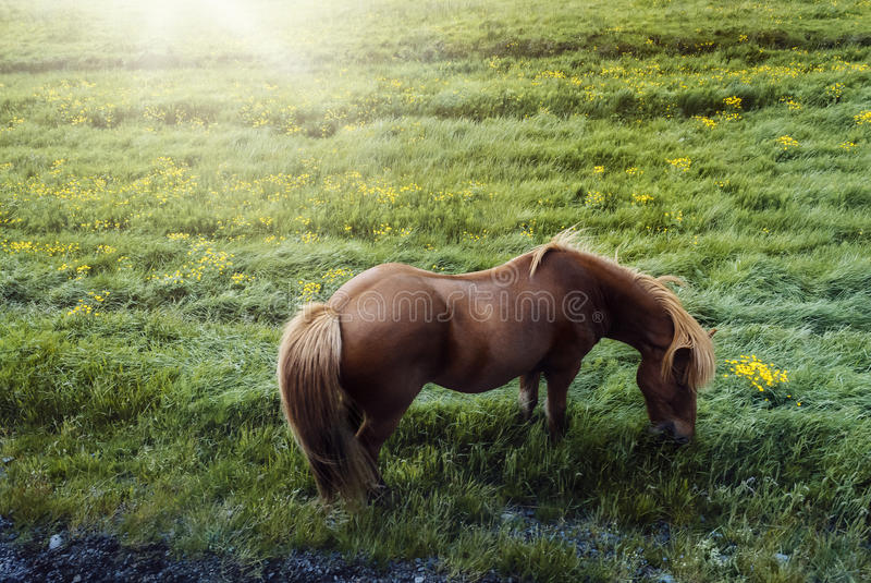 Piękny koń na słonecznego dnia łasowania trawie na Iceland obraz stock